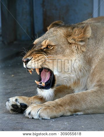 Evil Lioness Roars In The Zoo. Lioness With Open Mouth