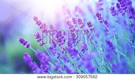 Lavender flower field, Blooming Violet fragrant lavender flowers. Growing Lavender swaying on wind over sunset sky, harvest, perfume ingredient, aromatherapy. Lavender field, Perfume ingredient