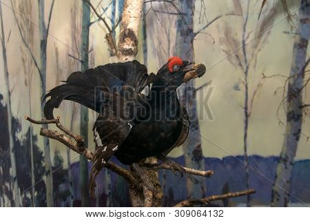Moscow Region, Russia - March 25, 2019: Scarecrow Capercaillie. Eskponat In The Exposition Of The Mu