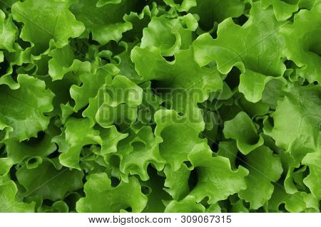 Organic fresh lettuce grows on the ground. bright green delicious lettuce in the garden close-up. vegan food poster