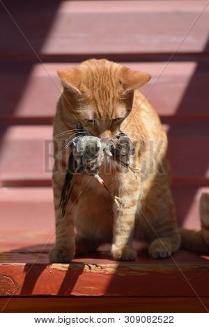 Ginger Domestic Cat Caught A Bird And Keeps It In The Mouth, Sitting On The Porch Of The House