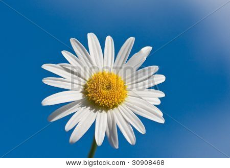 Chamomile On Blue Sky Background