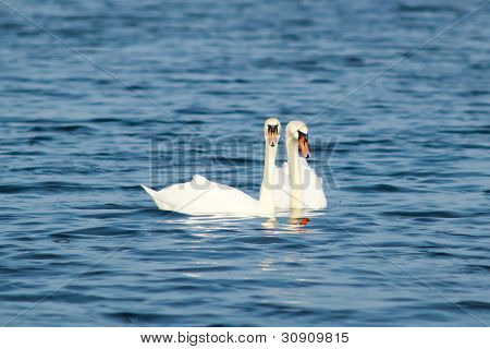 Two beautiful white swans swim together in Blue Lake poster