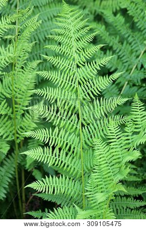 Closeup Detail In Several Ferns In Woodsy Setting, Fronds Opened Up Fully Under Warmth Of Summer Sun