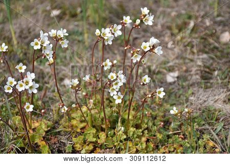 Closeup Image Of A Group With Blossom Saxifrage Flowers