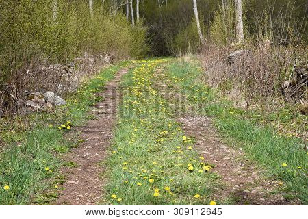 Country Road With Green Grass And Blossom Dandelions At The Swedish Island Oland