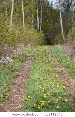 Dirt Road With Blossom Dandelions In The Green Grass At The Island Oland In Sweden