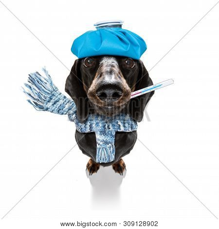 Sick And Ill Dachshund Sausage Dog  Isolated On White Background With Ice Pack Or Bag On The Head, W