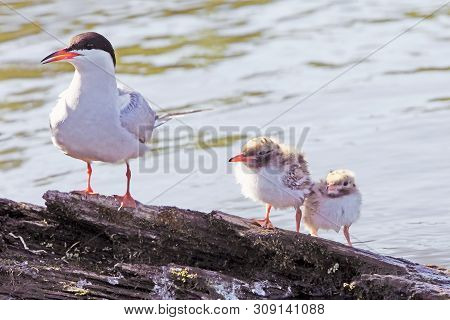 tern with a brood of small chicks on bank of the river, close-up poster