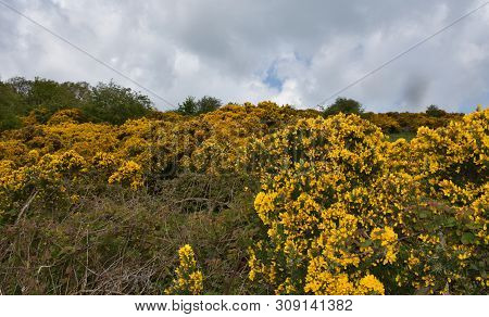 Landscape With Blooming Golden Yellow Gorse Bushes.