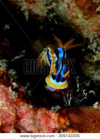 Closeup And Macro Shot Of Nudibranch Chromodoris Anne During A Leisure Dive In Mabul Island, Semporn