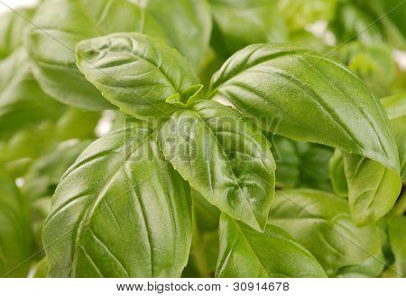 Embossed Green Basil Leaves