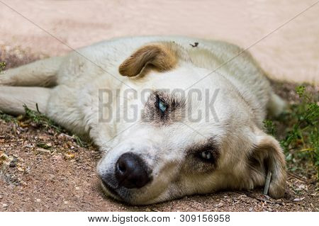 Close Up Of A Stray Dog With Blue Eyes Lying On The Ground In A Park.