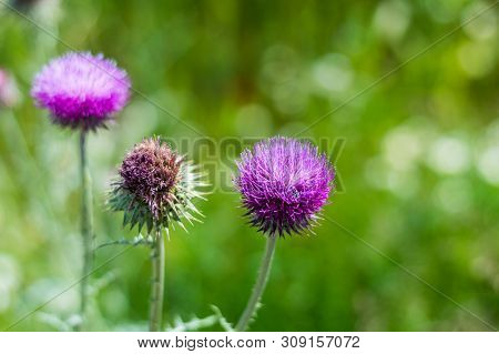 Milk Thistle Flowers In The Springtime On A Blurry Green Background.