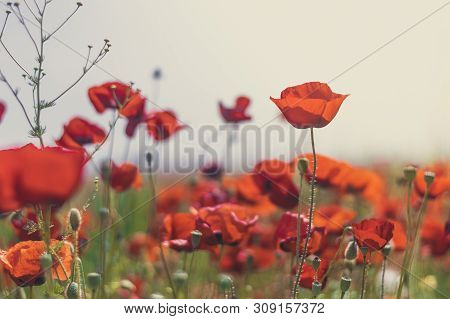 Beautiful Field Of Red Poppies In The Sunset Light. Remembrance Sunday Background.