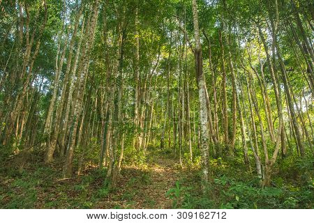Rubber Tree Or Hevea Brasiliensis Green Forest At Thailand