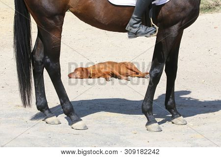 Tired And Relaxed Vizsla Dog Laying On The Sand At A Horse Racetrack On A Hot Summer Day