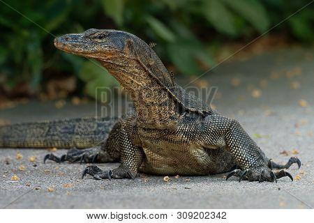 Asian Water Monitor - Varanus Salvator Also Common Water Monitor, Large Varanid Lizard Native To Sou