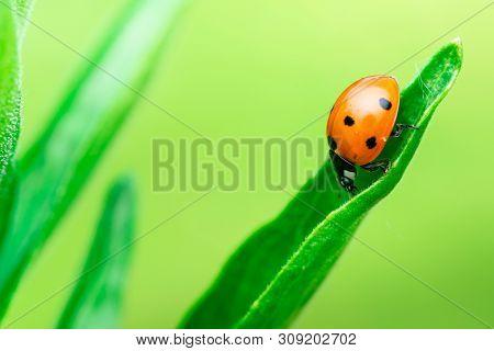 Ladybug Runs Down Through The Top Of A Leaf, Coccinellidae, Arthropoda, Coleoptera, Cucujiformia, Po