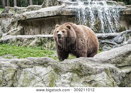 Lets Go Wild For Wildlife. Undomesticated Animal Species Or Wildlife. Wild Brown Bear In Natural Env