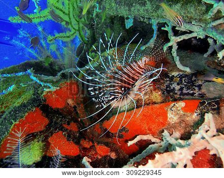 Closeup And Macro Shot Of The Lionfish And Also Called Zebrafish, Firefish, Turkeyfish Or Butterfly-