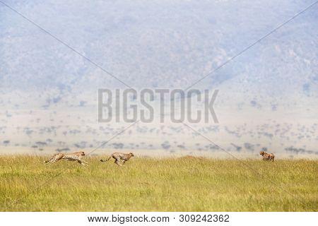 Three cheetahs running through the Masai Mara, Kenya. The cheetah is the fastest land animal in the world, reaching speeds of up to 70 miles per hour.