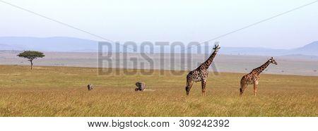 Giraffes and elephants in the Masai Mara. Popular social media banner proportions.