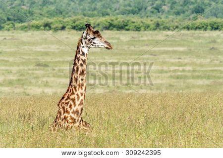 A Masai giraffe resting in the long grass of the Masai Mara, Kenya.