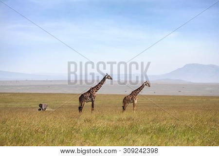 Male and female Masai Giraffes in the Masai Mara, with elephant and baby in the background.