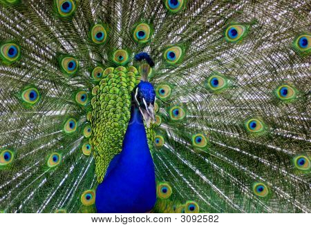 beauty of wonder multicolored peacock at spring time poster