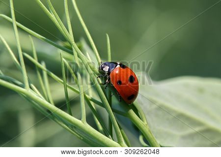 Ladybug (coccinellidae) On The Rape Plant - Macro