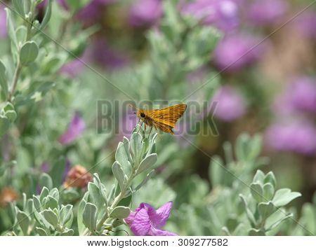 A Tiny Orange Colored Moth With Big Eyes Sits On A Bush Of Pink Blooms.