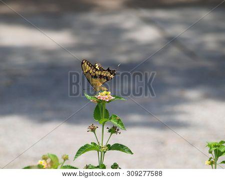 A Yellow Swallowtail Butterfly Arrives In A Butterfly Garden.