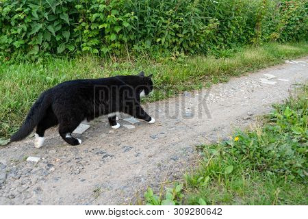 Black And White Cat Walks Carefully Along The Trail On A Summer Day. Close-up