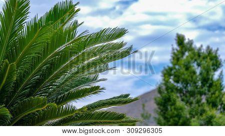 Cycas Revoluta, Sago Palm, King Sago, Sago Cycad, Japanese Sago Palm On Blue Sky Blur Background. Cu