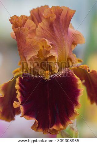 Closeup Of Flower Bearded Dainty Orange Brown. Macro Photo.