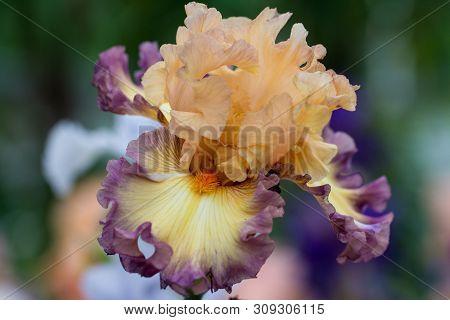 Closeup Of Flower Bearded Dainty Purple Pink Iris. Macro Photo.