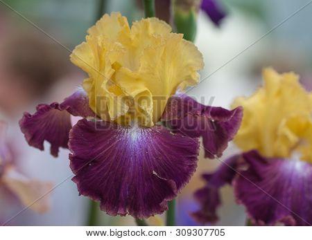 Closeup Of Flower Bearded Dainty Purple Yellow Iris. Macro Photo.