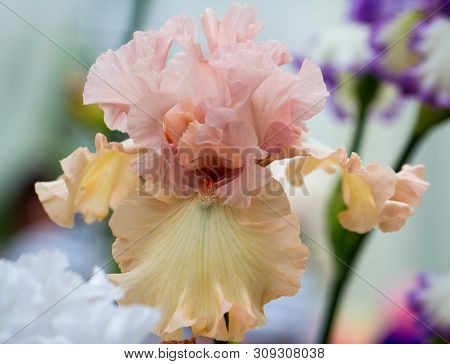 Closeup Of Flower Bearded Dainty Peachy Pink Iris. Macro Photo.