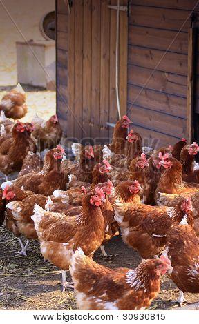 Brown Hens