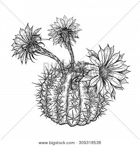 Cactus Flower Isolated On White Background. Hand Drawing. Vintage Style. Black And White. Image Of A