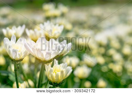 The Many White Chrysanthemum Flower In Field