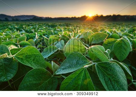 Soy Field Lit By Early Morning Sun. Soy Agriculture