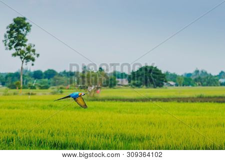 Colorful Of The Macaw Parrot Practice Flying In The Fields.