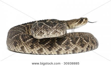 eastern diamondback rattlesnake - Crotalus adamanteus , poisonous, white background poster