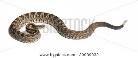 South American rattlesnake - Crotalus durissus,  poisonous, white background