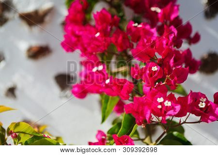 Closeup Of Bougainvillea Flowers And Bougainvillea Plant Tree Over White Architecture Of Santorini,