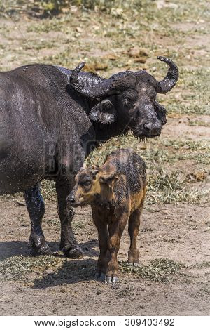 African Buffalo Baby With Mother In Kruger National Park, South Africa ; Specie Syncerus Caffer Fami