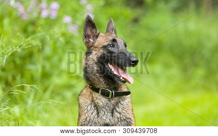 Playful Happy Wet Belgian Malinois Shepherd Dog Sitting Outside In Grassy Summer Meadow With Wildflo