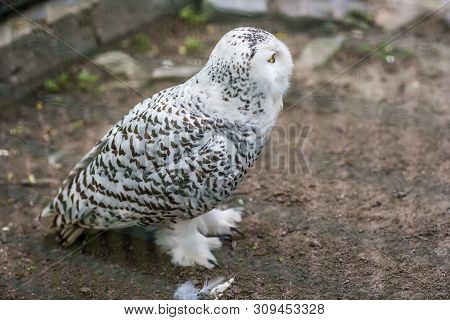 Snowy Owl Called Bubop Scandiacas In A Cage In A Zoo